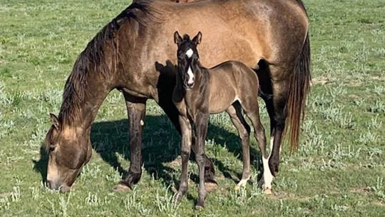 2019 Grulla Filly