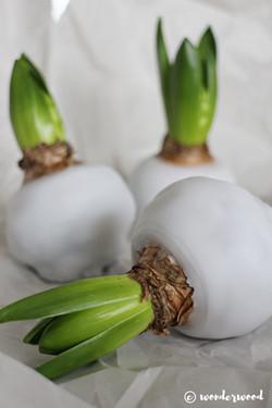 waxed hyacinths