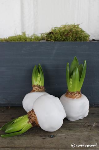 diy vokset svibel // diy waxed hyacinth
