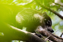 Coati in green