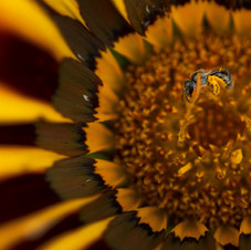 Pollinating an invader
