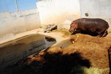 Hipopótamo en Tulancingo