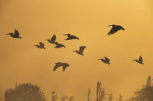 Pelícanos al amanecer