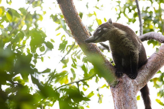 Coatí in Cancún