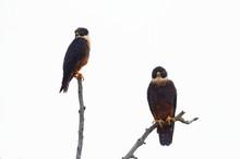 Falcon duet