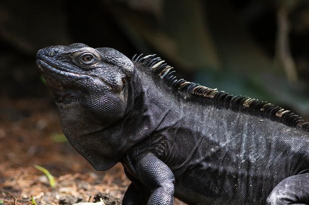 Iguana de cola espinosa del noreste