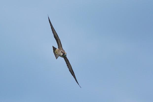 Fastest bird on Earth