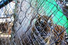 Tigre en Tulancingo