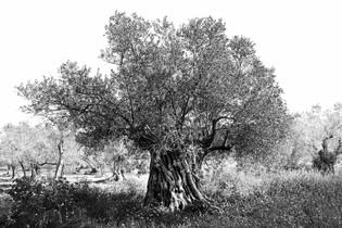 Black Olive Tree.jpg