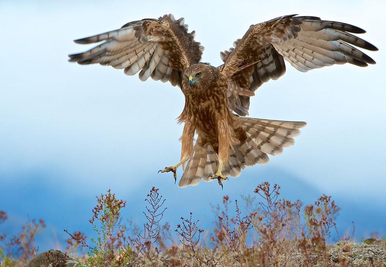 Wild-Kahu-New-Zealand-Hawk.jpg