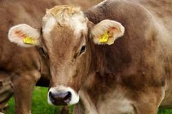 cow-2782461_960_720