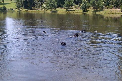 Flat-Coats Swimming