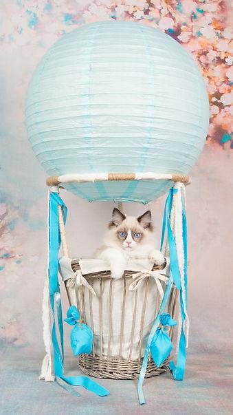 ragdoll blue bicolour kitten