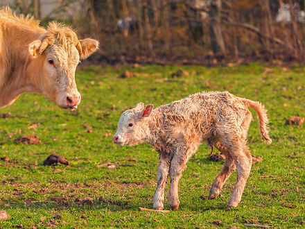 Newborn beef calf and cow.jpg