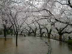 Cherry Blossoms in a flood