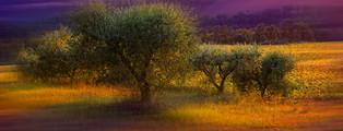 Petits oliviers_ Little olives trees
