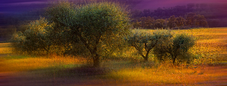 Petits oliviers_ Little olives trees
