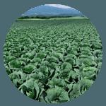 野菜産地・群馬県