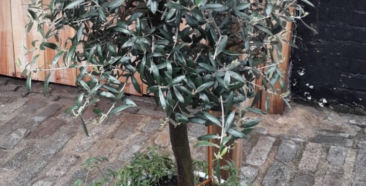 Medium Olive Tree & Pot