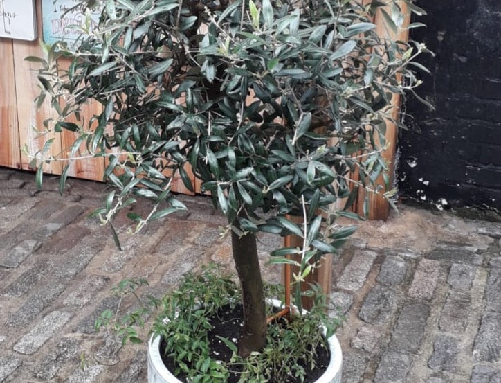Medium Olive Tree & Pot