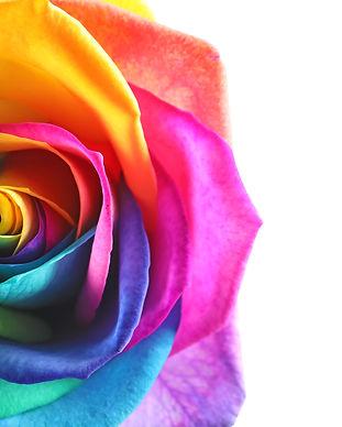 Amazing rainbow rose flower on white bac