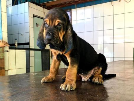 Equipe do Canil da Guarda Municipal de Americana recebe cão da raça Bloodhound