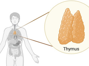 The thymus: from earth to space
