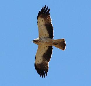 Àguila calçada.jpg