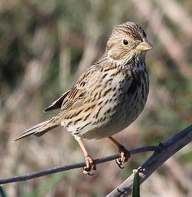 Fauna Ocells Catalunya Valles Tenes