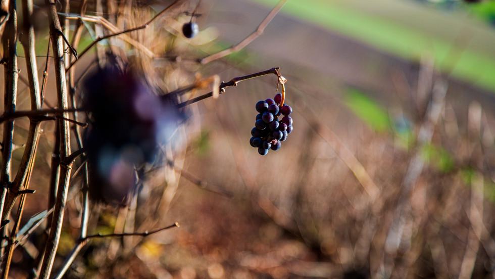Vignes a Rouvres les vignes