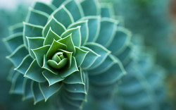 Succulent-Plant-1440x900-wide-wallpapers.net