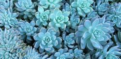 front-yard-succulent