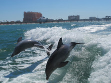 dolphins clearwater.jpg