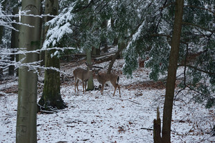 Doe and fawn's first snow  DSC_2503_391.