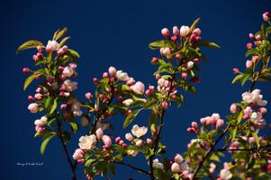 Crab apple blossoms 2 DSC_4014_704.JPG