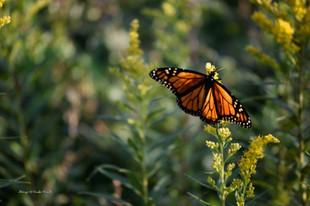 Monarch on Goldenrod DSC_1883_282.JPG