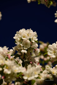 Crab apple blossoms DSC_4010_702.JPG