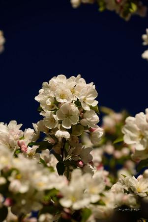 Crab apple blossoms DSC_4010_702.JPG
