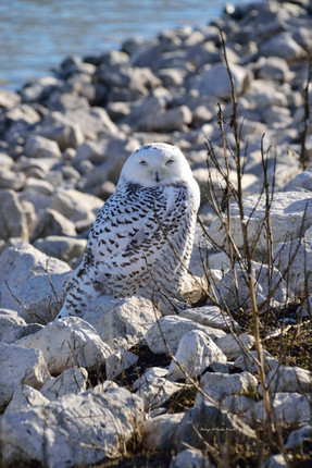 Owl on the Rocks DSC_6491_1280.JPG