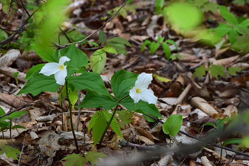 Trillium in a Pair Wrapped Canvas