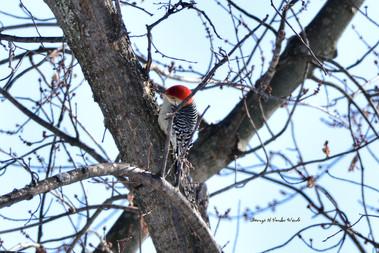 Red-bellied woodpecker DSC_9937_1967.JPG