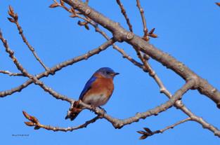 Bluebird Framed 1 DSC_0967_2071.JPG