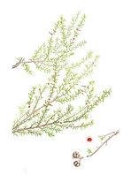 Leptospermum scoparium (Manuka), watercolour