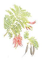 Clianthus puniceus (Kakabeak), watercolour