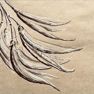 Quick sketch of flax seed pods while in Campbeltown for the weekend