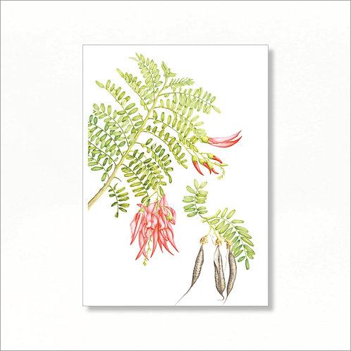 Print - Kakabeak (Clianthus puniceus)