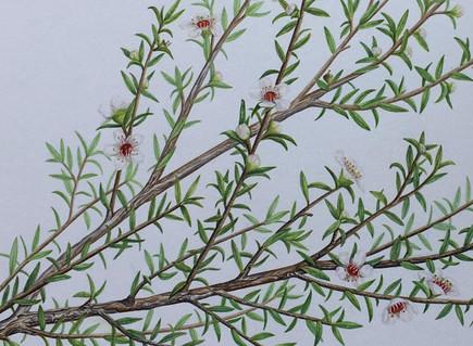 Leptospermum scoparium (Manuka)