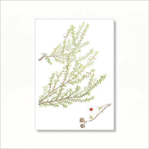 Print - Manuka (Leptospermum scoparium)