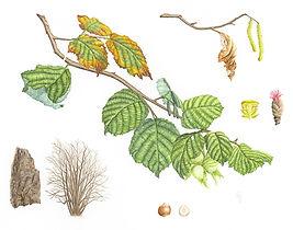Corylus avellana (Hazel), watercolour