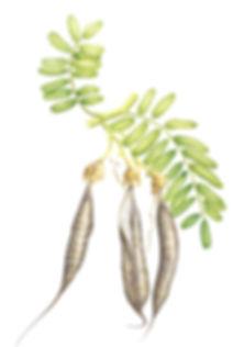 Kakabeak seed pods.jpg